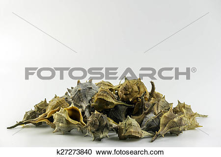 Stock Photography of Market Bolinus brandaris, an edible marine.