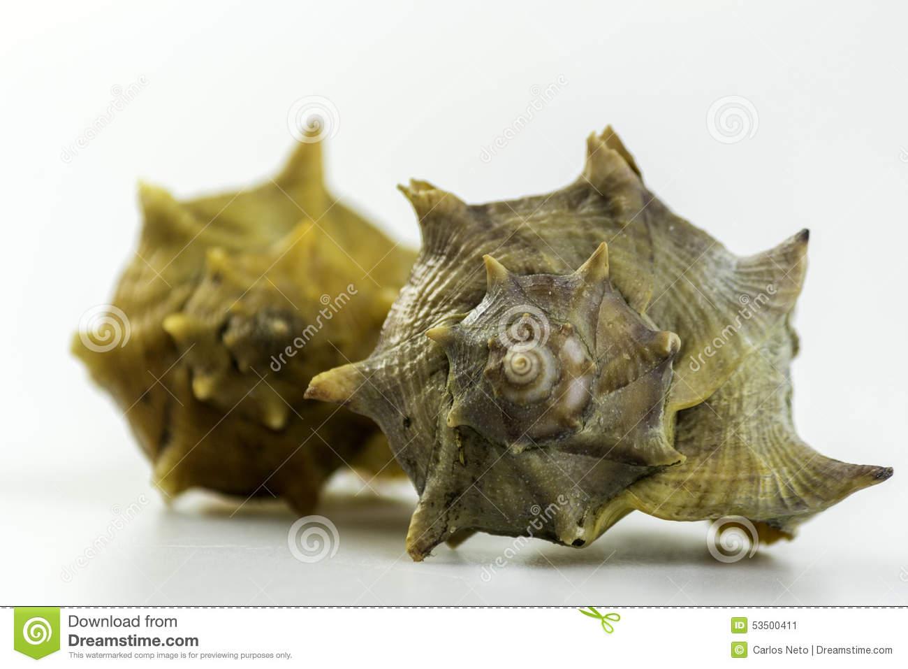 Bolinus Brandaris, An Edible Marine Gastropod Stock Photo.