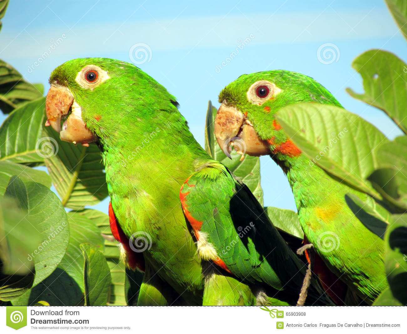 A Couple Of Parrots Maritaca On Guava Tree. Stock Photo.