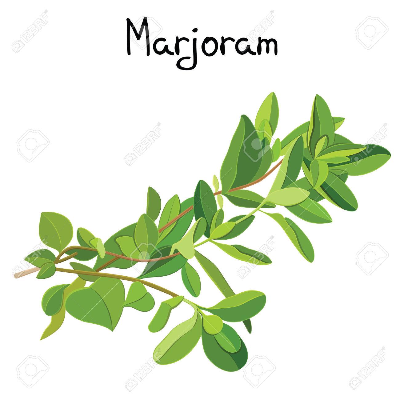 Fresh Marjoram Sprigs. Marjoram Sprigs. Vector Illustration.