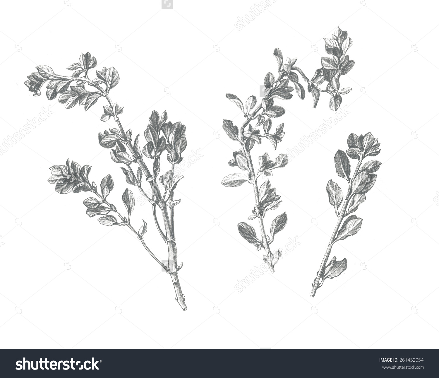 Marjoram Leaves Stems Pencil Drawing Isolated Stock Illustration.
