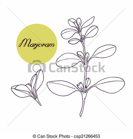 Clipart Vector of Hand drawn marjoram branch with leves isolated.