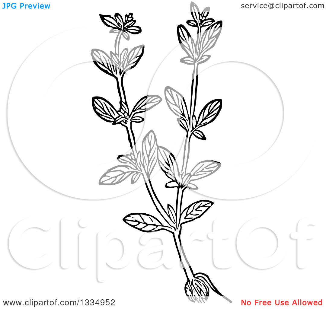 Clipart of a Black and White Woodcut Herbal Marjoram Plant.