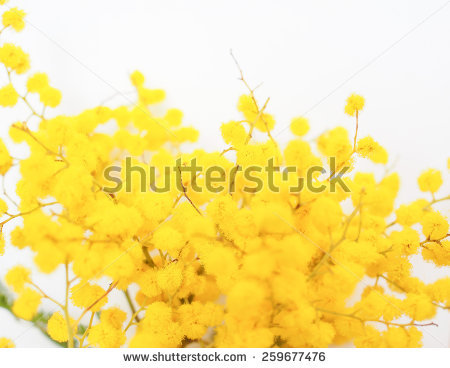 Wattle free stock photos download (7 Free stock photos) for.