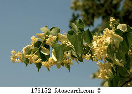 Basswood Stock Photos and Images. 415 basswood pictures and.
