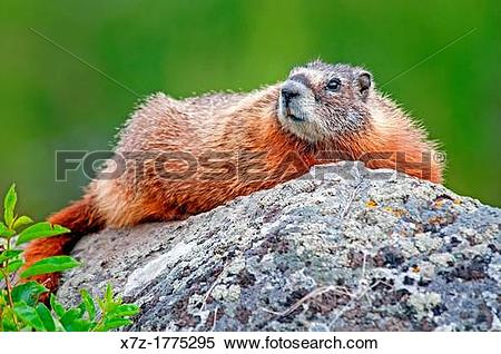 Stock Image of Yellowstone, Yellow Bellied Marmot at Wraith Falls.