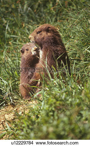Stock Photo of Vancouver Island marmot at the Green Mountain.