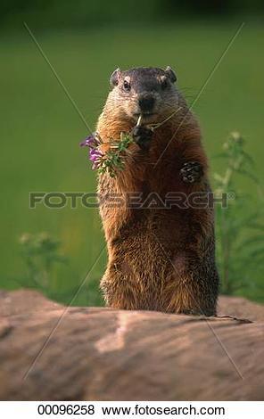 Pictures of Juniors, Marmota, Marmota bobak, animal, animals.