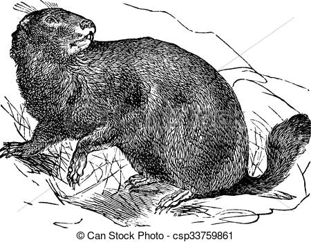 Clip Art Vector of Alpine Marmot or Marmota marmota vintage.