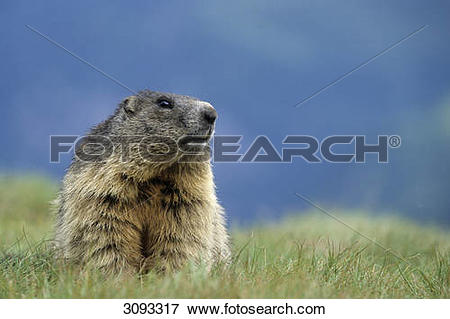 Picture of Alpine marmot (Marmota marmota) sitting in grass, Hohe.