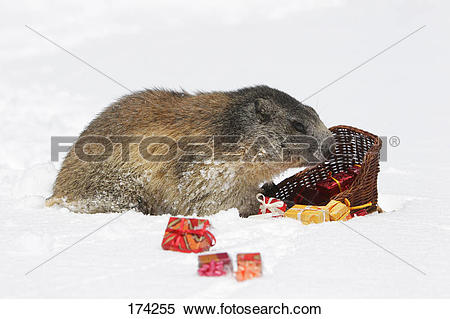 Stock Image of Alpine Marmot (Marmota marmota) eating from a toy.