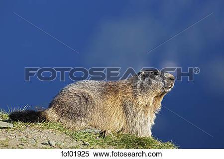 Stock Image of Austria, Alpine Marmot (Marmota marmota) fof01925.