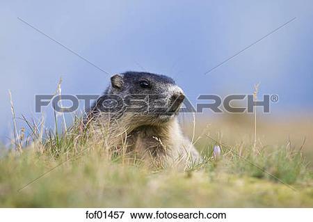 Picture of Austria, Alpine Marmot (Marmota marmota), portrait.
