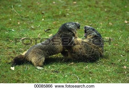Stock Images of Juniors, Marmorta, Marmota, Marmota marmota.
