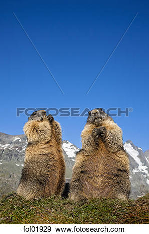 Stock Photograph of Austria, Grossglockner, Marmots (Marmota.
