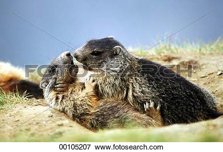 Picture of Juniors, Marmorta, Marmota, Marmota marmota, alpine.