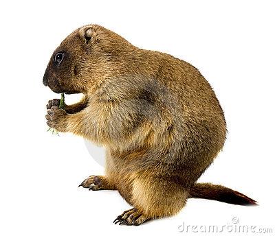 Bobak Marmot Stock Photos, Images, & Pictures.