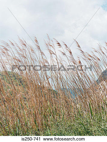 Stock Photography of Marram grass in the wind is250.