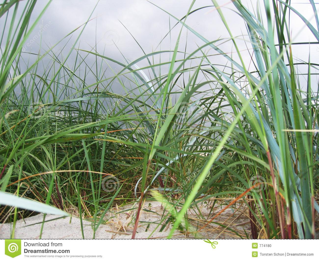 Marram Grass Stock Photo.