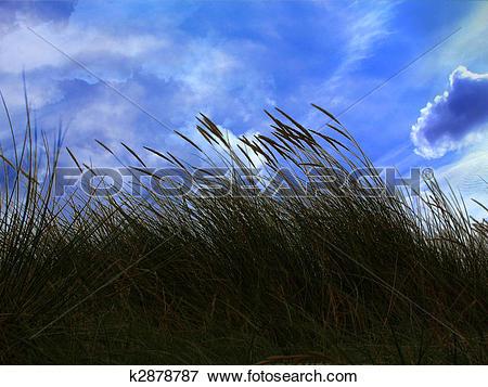 Stock Illustration of marram grass k2878787.