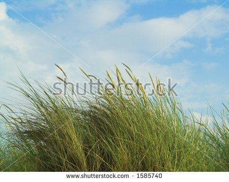 Marram Grass Stock Images, Royalty.
