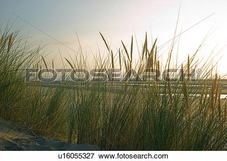 Picture of Wales, Ceredigion, Borth, A close of the marram grass.