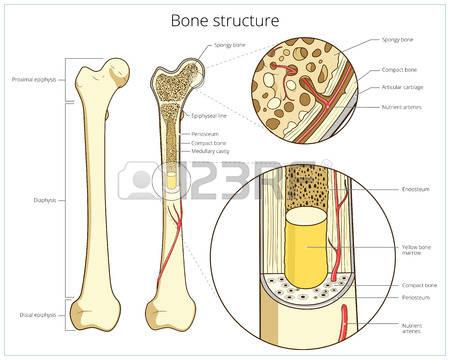 245 Bone Marrow Cliparts, Stock Vector And Royalty Free Bone.