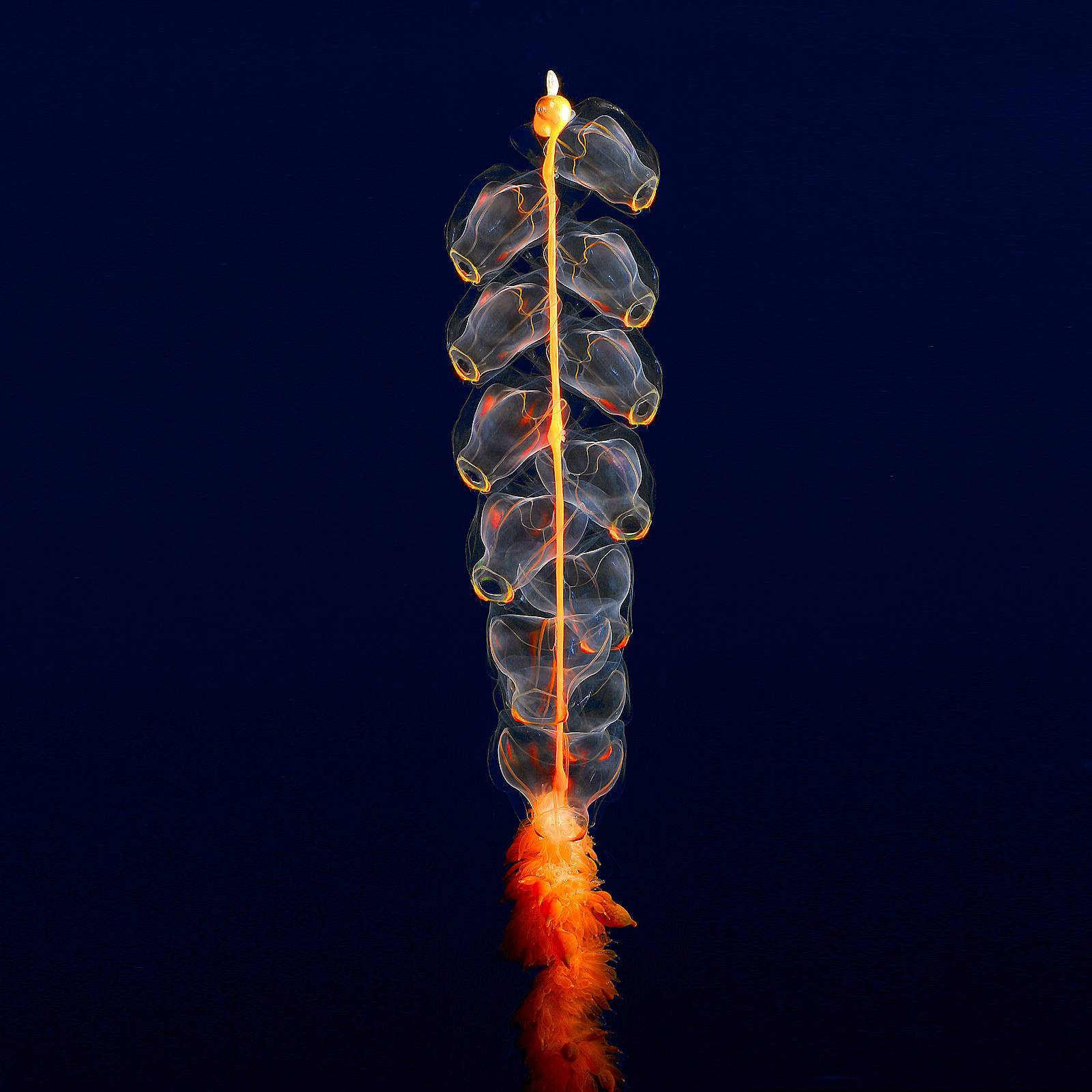 Marrus orthocanna, found in the deepest depths of the Arctic ocean.