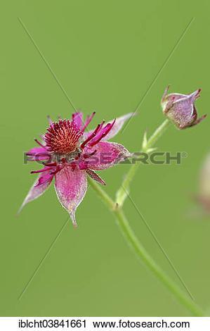 "Stock Photography of ""Marsh Cinquefoil (Potentilla palustris."
