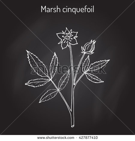 Cinquefoil Stock Photos, Royalty.
