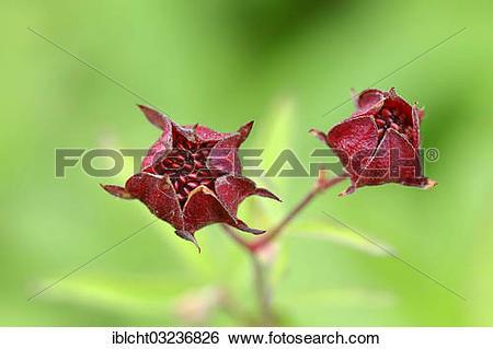 "Stock Images of ""Purple Marshlocks, Swamp Cinquefoil and Marsh."