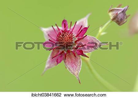"Stock Photo of ""Marsh Cinquefoil (Potentilla palustris), flower."