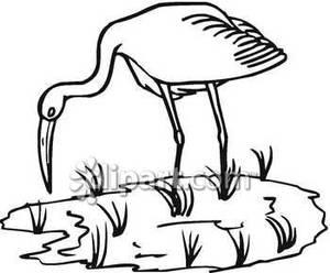 and White Crane Feeding In Marsh.