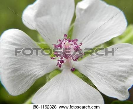 Pictures of Marshmallow Marsh Mallow, Althaea officinalis flower.