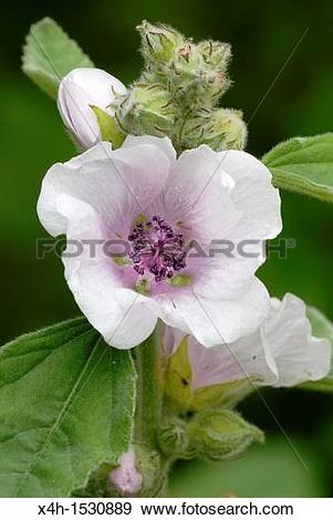Stock Photograph of Marshmallow flower Altheaea officinalis x4h.