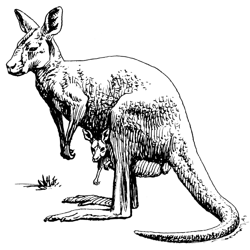 Free Kangaroo Clipart, 1 page of Public Domain Clip Art.