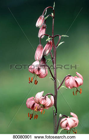 Stock Photography of AUT, 2003: Turk's Cap, Martagon Lily (Lilium.