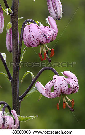 Stock Photo of DEU, 2008: Turks Cap, Martagon Lily (Lilium.