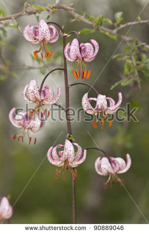 Martagon Or Turks Cap Lily Stock Photos, Royalty.