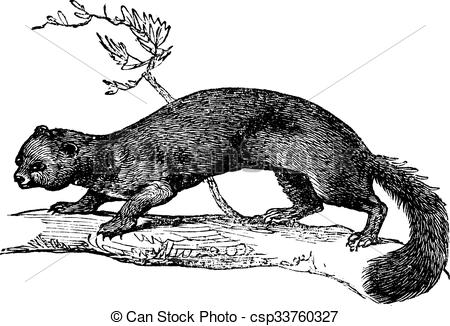 Pine marten Illustrations and Clip Art. 12 Pine marten royalty.
