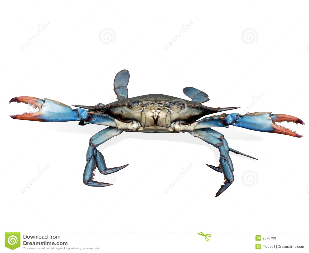 Blue crab in fight pose stock image. Image of clipping.
