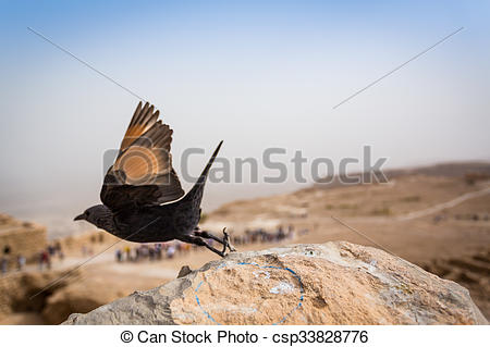 Picture of Tristram's Starling in Masada, Israel.
