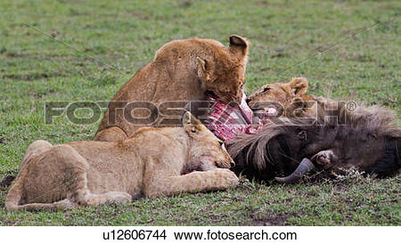 Stock Photo of Family group of lions around a wildebeest carcass.