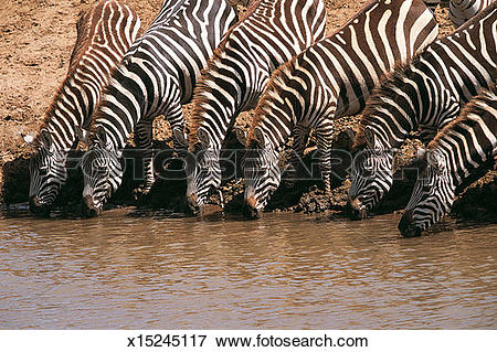 Picture of Six Zebras Standing in a Line and Drinking From a Water.