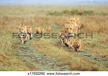 Stock Photography of Lionesses and Lion Cubs Travelling Over.