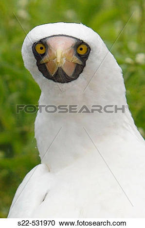Stock Photography of Masked Booby, (Sula dactylatra). s22.
