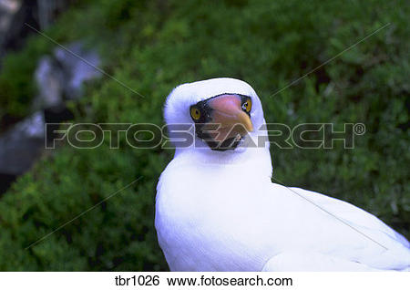 Stock Images of Portrait of a Masked Booby (Sula Dactylatra) bird.