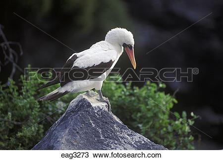 Stock Photo of MASKED BOOBY BIRD (Sula dactylatra) on ISLA.