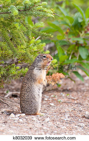 Stock Photograph of Chipmunk mating call k8032039.