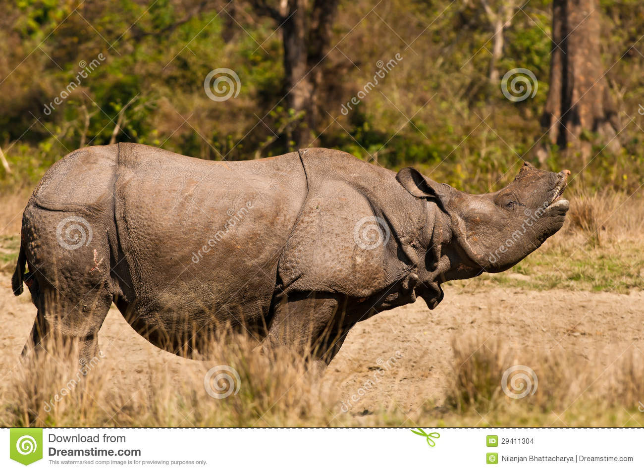 Rhino Mating Call Stock Images.